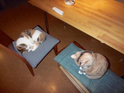 椅子上の猫